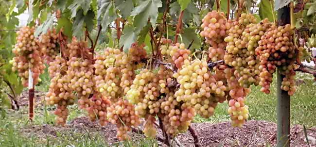 ar vīnogulāju pilnu iespēju izvēli profesionāļiem