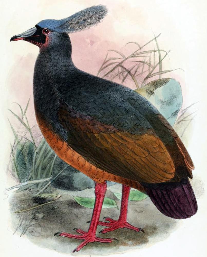 dodo picas variants