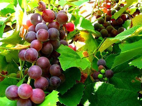 SKĀDUĻI ZS Latvijā audzēti vīnogu stādi