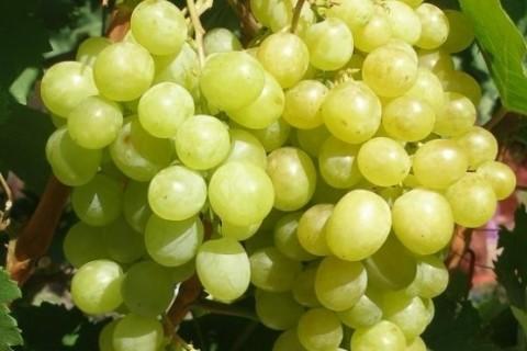 ar vīnogulāju pilnu iespēju izvēli profesionāļiem)